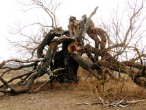 Un roble viejo solo con las ramas caidas apagado del tronco Fotos de archivo