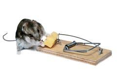 Un roedor que va al señuelo en un fondo blanco Imagen de archivo