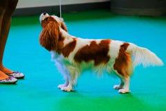 Un Roi Charles Spaniel pendant une exposition canine photographie stock