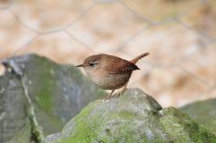 Un roitelet petit sur une roche. Photo stock