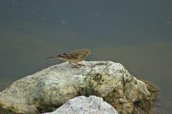 Un roitelet sur une roche de rivage Image libre de droits