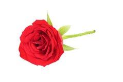 Un rojo hermoso se levantó Foto de archivo libre de regalías