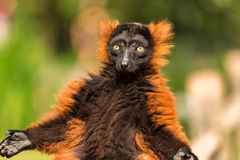 Un rojo superó el lémur en el parque zoológico de Artis Fotografía de archivo