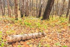Un rondin d'un bouleau au sol en automne, une vue fabuleuse photo libre de droits