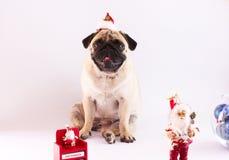 Un roquet se reposant sur un fond blanc avec le calendrier o de nouvelle année Images stock