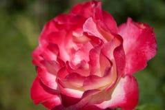 Un rosa è aumentato Immagini Stock Libere da Diritti