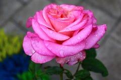 Un rosa è aumentato dopo la pioggia fotografia stock
