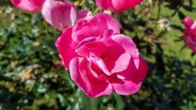 Un rosa è aumentato in fioritura Fotografia Stock Libera da Diritti