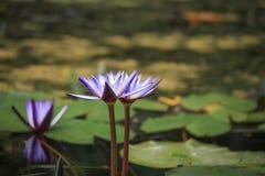 Un rosa hermoso waterlily o flor de loto foto de archivo
