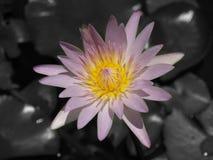 Un rosa hermoso waterlily o flor de loto en fondo negro Imagenes de archivo
