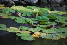 Un rosa nenuphar sul lago fotografia stock libera da diritti
