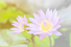 Un rosa violeta waterlily o una flor de loto hermoso y colorido Foto de archivo libre de regalías