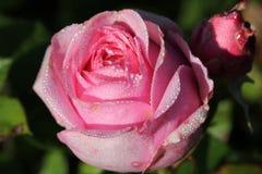 Un rosado subió Imagen de archivo libre de regalías