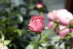 Un rosado subió Fotografía de archivo libre de regalías