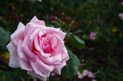 Un rosado subió imagen de archivo
