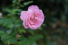 Un rose-clair s'est levé avec ses feuilles Photographie stock libre de droits