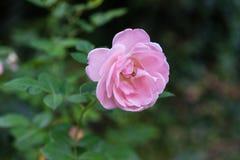 Un rose-clair s'est levé avec ses feuilles Photo libre de droits