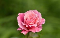 Un rose s'est levé Images libres de droits