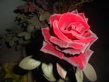 Un rose& x27; vite dell'essenza più rare di s nella spina fotografia stock