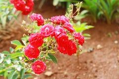 Un rosier rouge dans un jardin tropical dans le soleil d'après-midi Photographie stock libre de droits