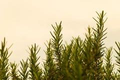 Un rosmarino verde Fotografie Stock Libere da Diritti