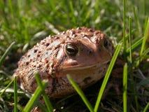 Un rospo comune nell'erba Immagini Stock Libere da Diritti