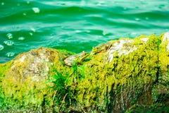 Un rospo di due fiumi fotografia stock