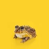 Un rospo su una priorità bassa gialla Fotografia Stock