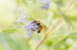 Un rosso variopinto, giallo & nero, ricerche di huntii del Bombus del bombo di polline nella caduta in anticipo in una pianta col fotografie stock libere da diritti