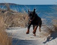 Un rottweiler que corre en una playa Foto de archivo libre de regalías