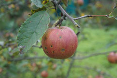Un rouge avec une pomme de fruit de taches brunes et un x27 ; Pobediteljam& x27 de Slava ; sur a Images libres de droits