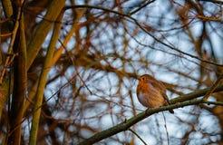Un rouge-gorge dans l'horaire d'hiver Images libres de droits