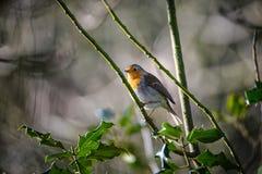 Un rouge-gorge dans l'horaire d'hiver Photo libre de droits