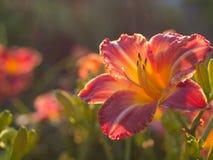 Un rouge lilly parmi un champ des fleurs Photographie stock libre de droits