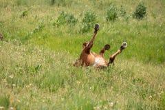 Un roulement de cheval dans un domaine herbeux vert et des éruptions il jambes du ` s vers le ciel photos libres de droits