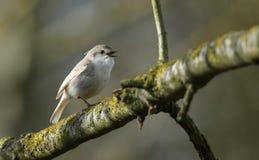 Un rubecula rare de chant Leucistic Robin Erithacus était perché dans un arbre Image libre de droits