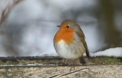 Un rubecula renversant de Robin Erithacus était perché sur un poteau en bois pendant une tempête de neige image libre de droits