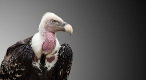 Un rueppellii du ` s Griffon Vulture Gyps de Ruppell Image libre de droits