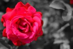 un símbolo color de rosa del amor eterno imágenes de archivo libres de regalías
