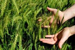 Un ` s dell'uomo passa la tenuta delle orecchie verdi del grano su un'azienda agricola in un giorno soleggiato Coltivazione agric Fotografia Stock