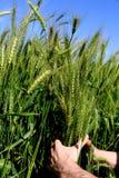 Un ` s dell'uomo passa la tenuta delle orecchie verdi del grano su un'azienda agricola in un giorno soleggiato Coltivazione agric Immagini Stock