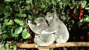 Un ` s di due koale e un bambino su un ramo