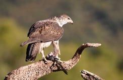 Un ` s Eagle de Bonelli Imagenes de archivo
