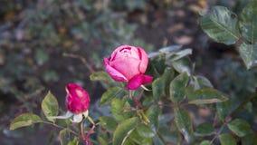 Un ` s sola Rose roja de la tarjeta del día de San Valentín Imagen de archivo