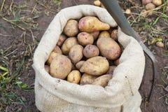 Un sac de pommes de terre fraîchement sélectionnées Images libres de droits