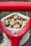 Un sac de pommes de terre fraîchement sélectionnées Photo stock