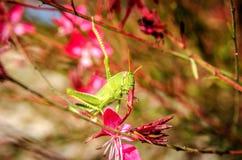 Un saltamontes bebe el néctar de la flor de Gaur Lindhammer Imagen de archivo libre de regalías