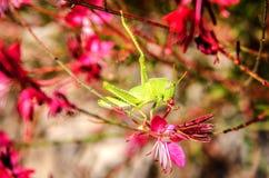 Un saltamontes en la flor de Gaur Lindhammer Imagen de archivo libre de regalías