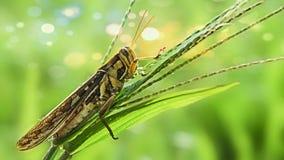 Un saltamontes, un insecto foto de archivo libre de regalías