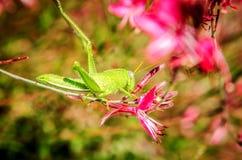 Un saltamontes se sienta en la flor rosada de Gaur Lindhammer y la come Imagen de archivo libre de regalías